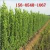 1米北海道黄杨 1.5米、2米北海道黄杨 3米丛生北海道黄杨