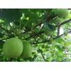 香芋冬瓜种子技术