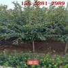 樱花树苗-6公分7公分8公分樱花树、9公分10公分高杆樱花