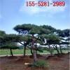 1米造型黑松、1.5米1.8米2米造型黑松-3米4米造型油松