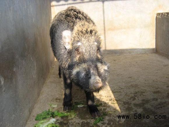 有没有野猪苗出售的养殖场购买野猪苗多钱一只能买到