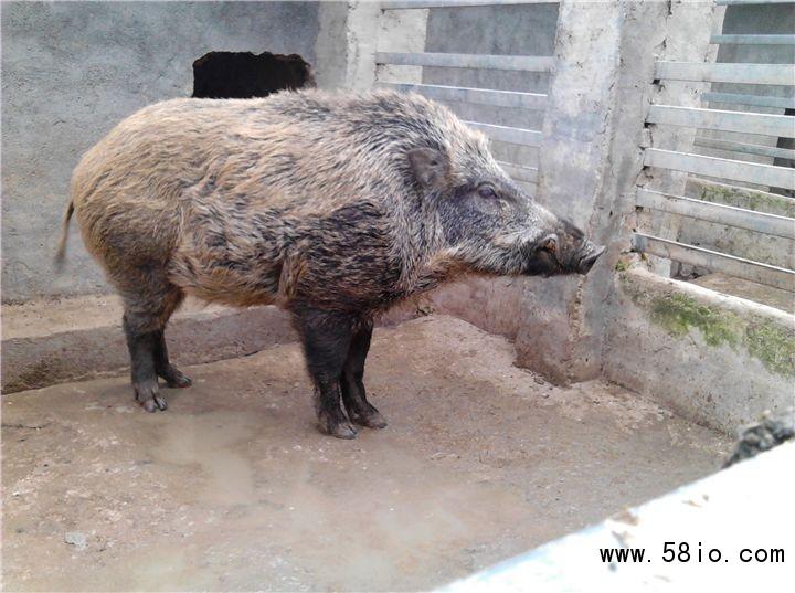 国内长白山野猪苗哪里养殖场纯度高