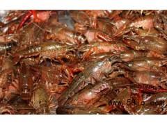德州龍蝦苗多少錢一斤