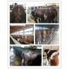牛饲料厂家肉牛专用饲料瘦牛吃什么长得肥