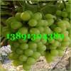 陕西大棚青提葡萄基地,大棚早熟青提葡萄产地种植价格