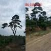 8公分、10公分造型黑松_1-2米造型黑松、3米4米泰山景松