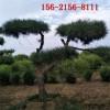 12公分造型黑松 1-4米造型景松 4.5米、5米6米造型景松