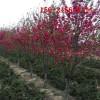 0.8公分红叶碧桃、1-9公分红叶碧桃 10公分红叶碧桃树苗