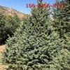 产地直销 1-2米云杉 3米云杉 3.5米、4米云杉 5米云杉树