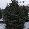 出售2米云杉树、3米云杉 3.5米 4米云杉 5米-6米云杉树