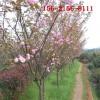 基地4公分5公分6公分樱花_7公分8公分、9公分高杆樱花树