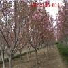 供应8公分9公分-10公分樱花 12公分樱花 15公分高杆樱花